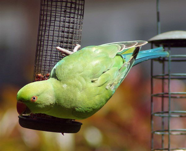 İskender Papağanı