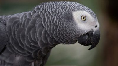 En Zeki Papağan Türleri
