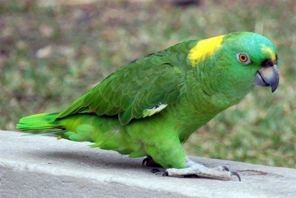 Sarı Enseli Amazon Papağanı