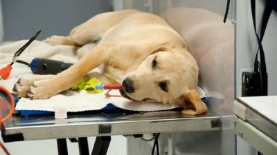 Köpeklerde Anestezi ve Yöntemleri
