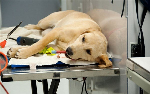 Köpeklerde Anestezi