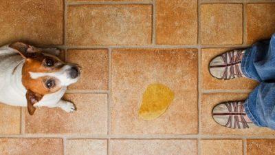 Köpeklerde İdrar Kaçırma Nedenleri ve Çözüm Yolları