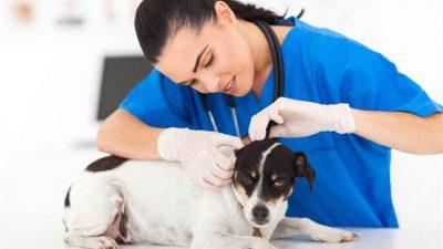 Köpeklerde Otitis Externa (Dış Kulak Yolu İltihabı) Nedenleri