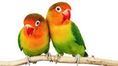 Cennet Papağanları Hakkında Bilgi