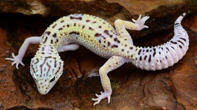 Geko (Gecko) Hakkında Genel Bilgiler