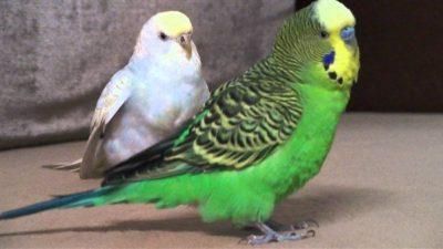 Muhabbet Kuşlarında Normal ve Anormal Dışkı