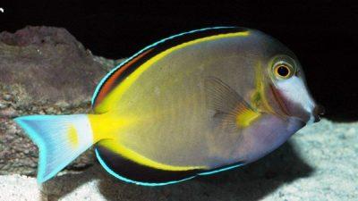 Tang Balığı Türleri
