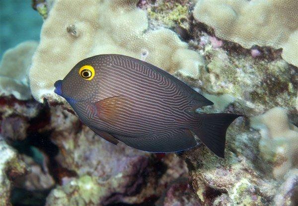 Kole Tang Balığı