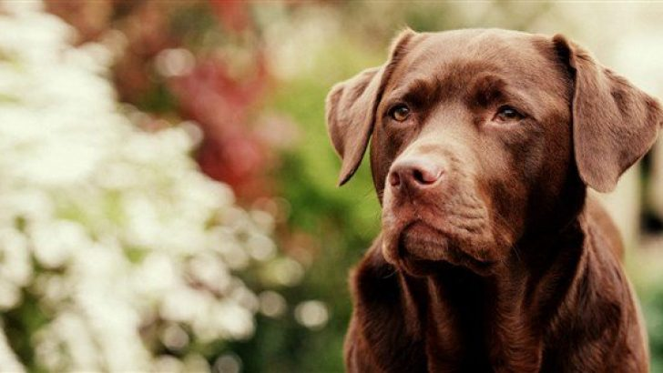 Köpeklerde Anöstrus Problemi