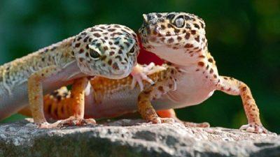 Leopard Gecko Cinsiyet Ayrımı