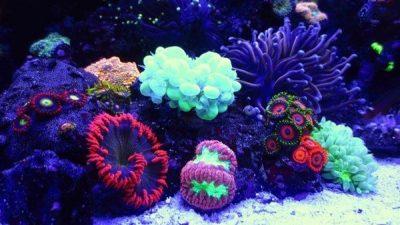 Deniz Akvaryumlarında Kullanılabilecek Mercan Türleri