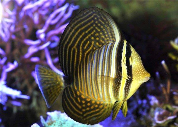 Sailfin Tang Balığı