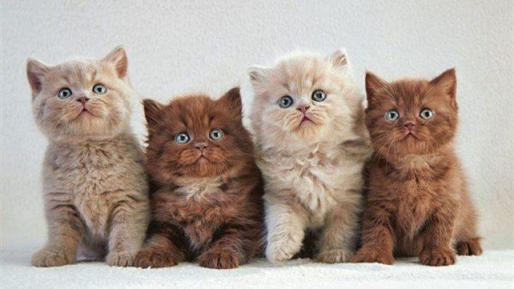 Yavru Kedilerde Cinsiyet Ayrımı
