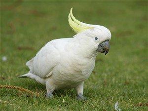 Beyaz Papağan