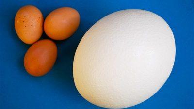 Deve Kuşu Yumurtası ve Özellikleri