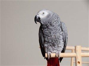 Gri Papağan