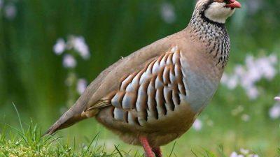 Keklik Özellikleri ve Yetiştiriciliği