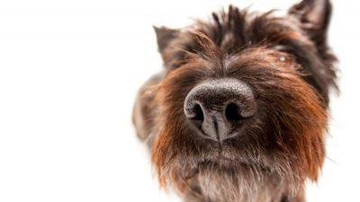 Köpeklerde Burun Kanaması ve Nedenleri