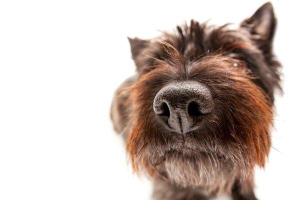 Köpek Burun Kanaması