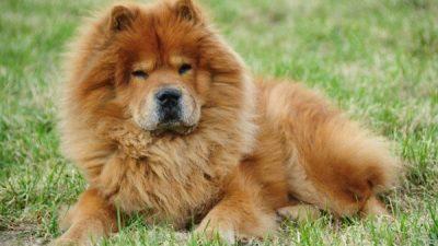 Köpeklerde TVT (Transmissible Venereal Tümör)