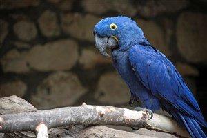 Mavi Papağan