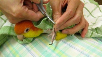 Papağanlarda ve Muhabbet Kuşlarında Tırnak Kesimi