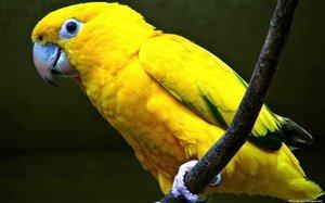 Sarı Papağan