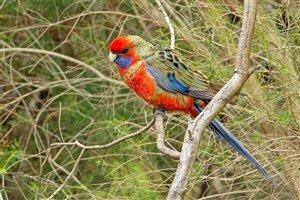 Adelaide Rozella Papağanı