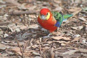 Batı Rozella Papağanı