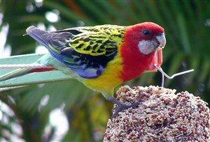 Doğu Rozella Papağanı
