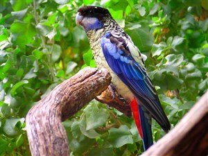 Kuzey Rozella Papağanı