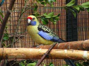 Sarı Rozella Papağanı
