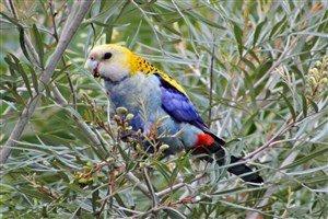 Solgun Göğüslü Rozella Papağanı