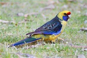 Yeşil Rozella Papağanı