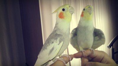 Sultan Papağanları Hakkında