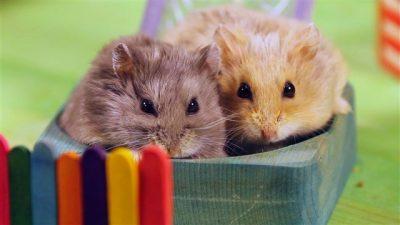 Hamster Kafes Seçimi ve Hazırlanması