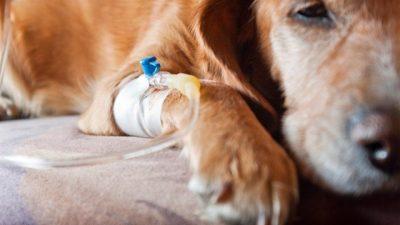 Köpeklerde Akut Gastritis