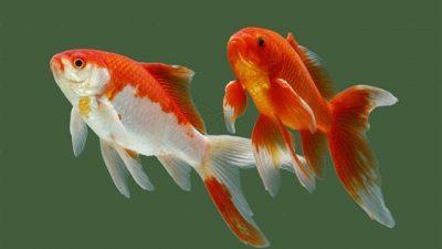 Japon Balığı Özellikleri ve Çeşitleri