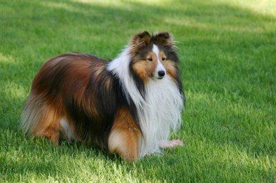 Shetland Çoban Köpeği