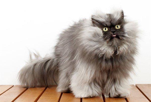 En Uzun Tüylü Kedi