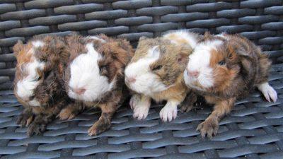Guinea Pig (Ginepig) Çiftleşme ve Üreme
