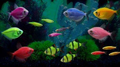 GloFish Balıklar Hakkında Bilgi