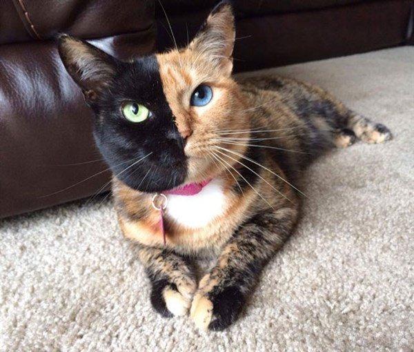İki Yüzlü Kedi
