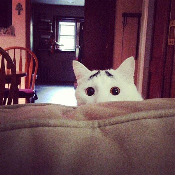 Kaşlı Kedi