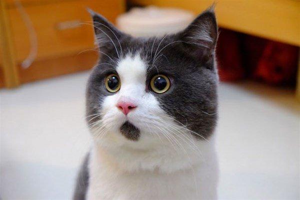 Şaşkın Kedi