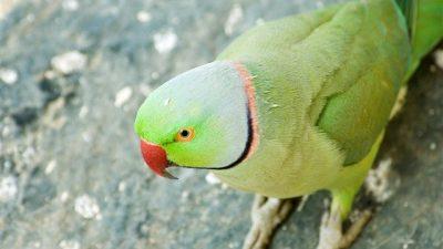 Yeşil Papağan Hakkında Bilgi