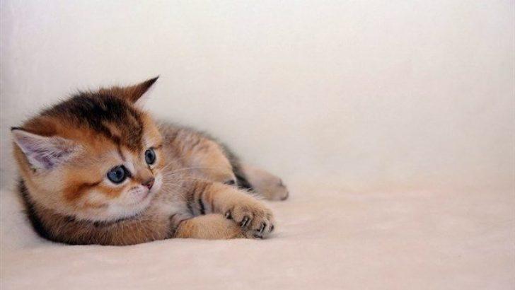 Kedilerde Halsizlik ve İştahsızlık Nedenleri