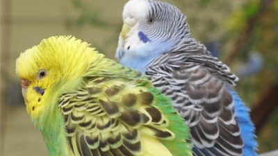 Muhabbet Kuşlarında Hastalık Belirtileri