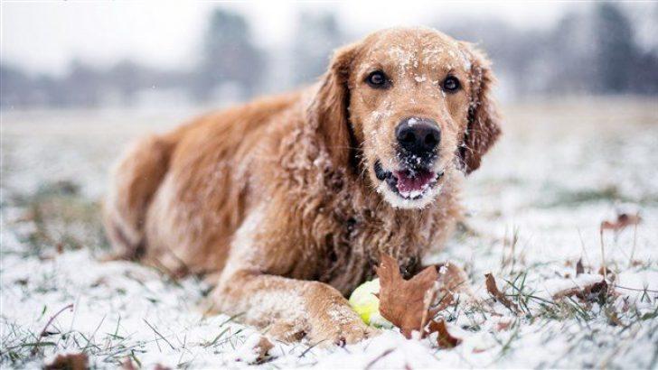 Köpekler Soğuk Havalarda Üşür mü?