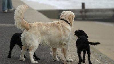 Köpeklerde Kuyruk Hareketleri ve Anlamları